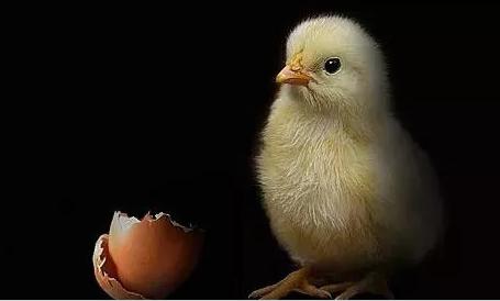 【自制小鸡孵化器实验】是先有鸡还是先有蛋?