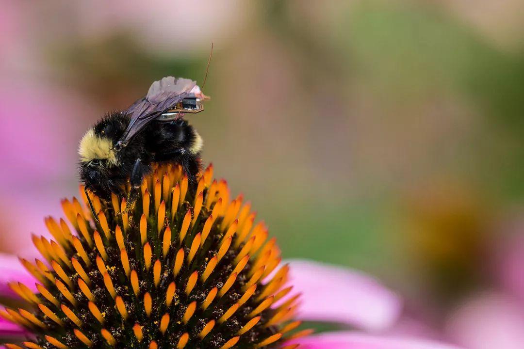"""科学家为蜜蜂配备无线传感器,打造""""活的""""物联网平台"""